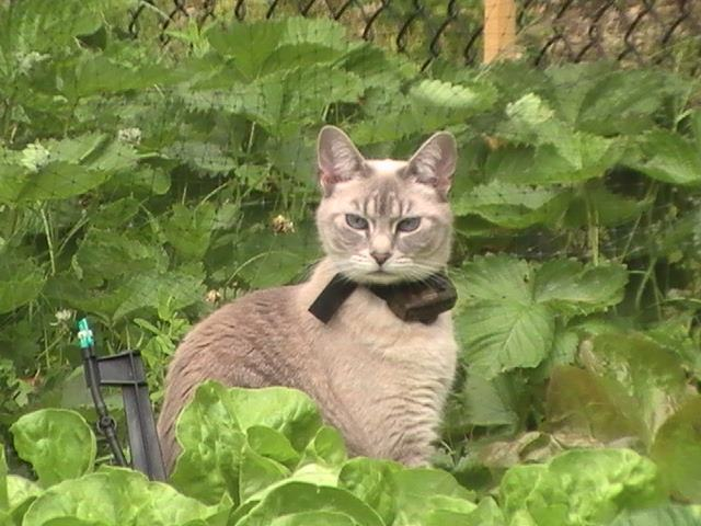 2 Ways To Keep Your Cats Safe Outsideprofessional Pet