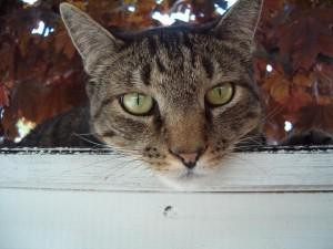 Danny, tiger cat looking down