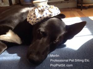 Merlin is not feeling well Professional Pet Sitting Etc.