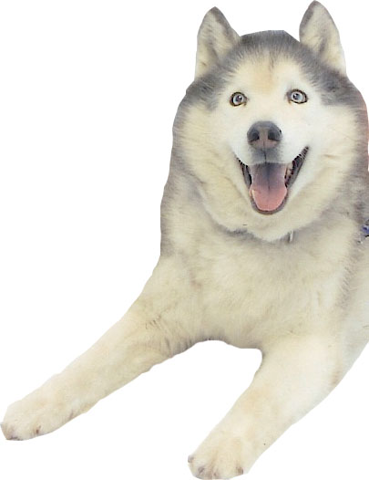 Fudge, Siberian Husky cut out