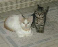 Danny, tiger kitten and Nikki, flame point siamese kitten