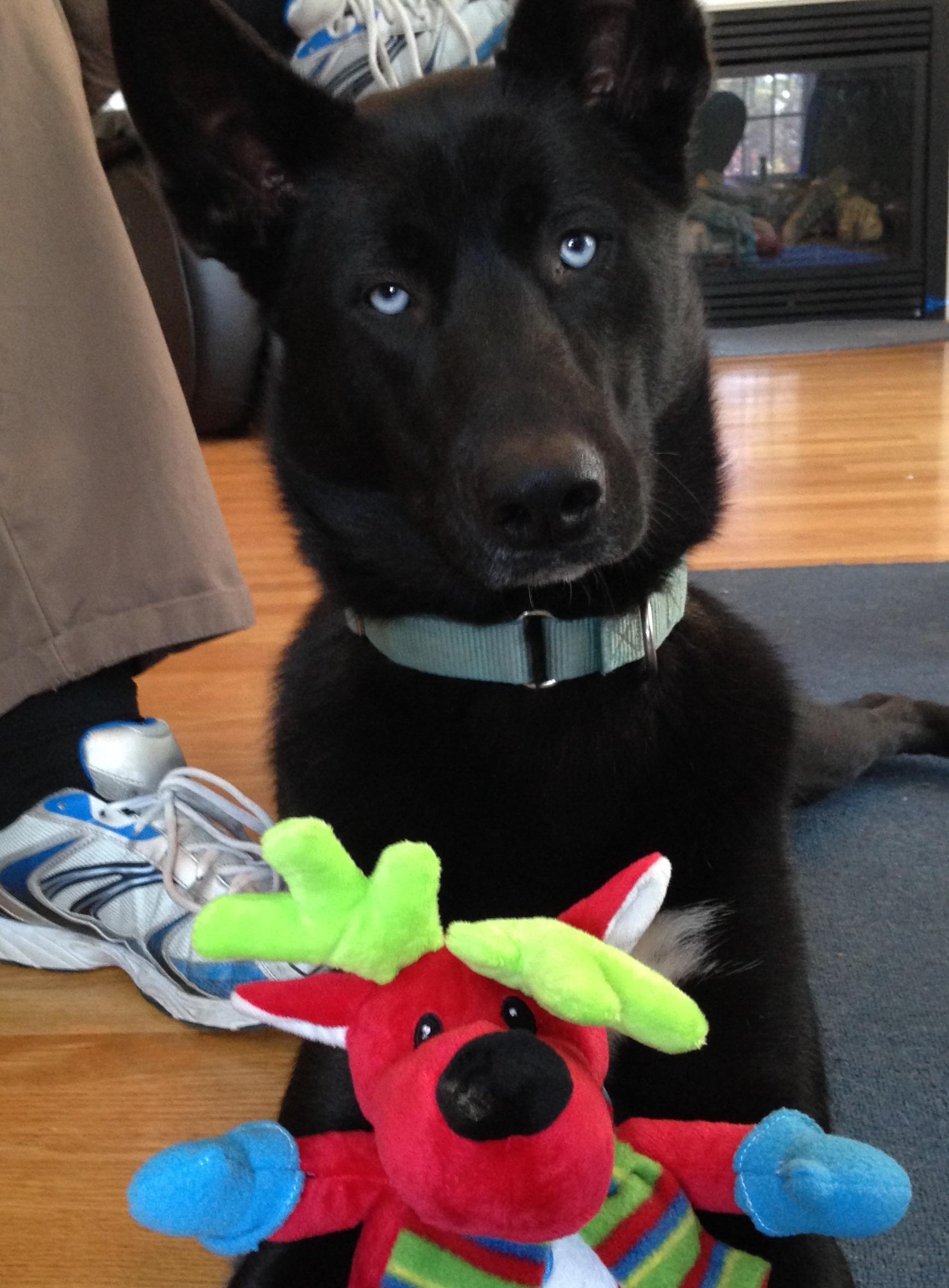 Merlin and his Christmas Reindeer, Professional Pet Sitting Etc