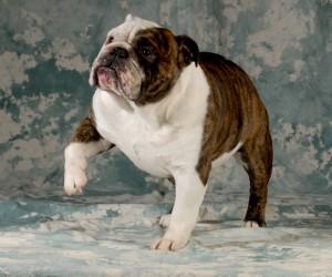 Bulldog lifting paw