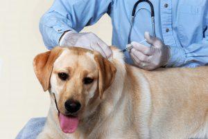 yellow lab gets vaccine