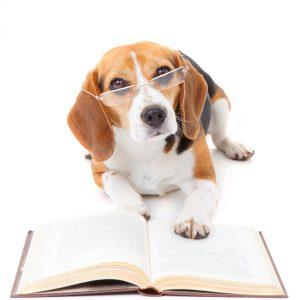 beagle dog wearing glasses reading book