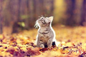 British kitten in autumn park, fallen leaves, September 2017