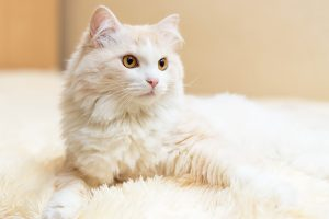 August Turkish Angora