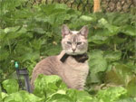 Felice, lilac point tonkinese cat in garden