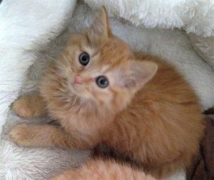 Buff shorthaired kitten foster