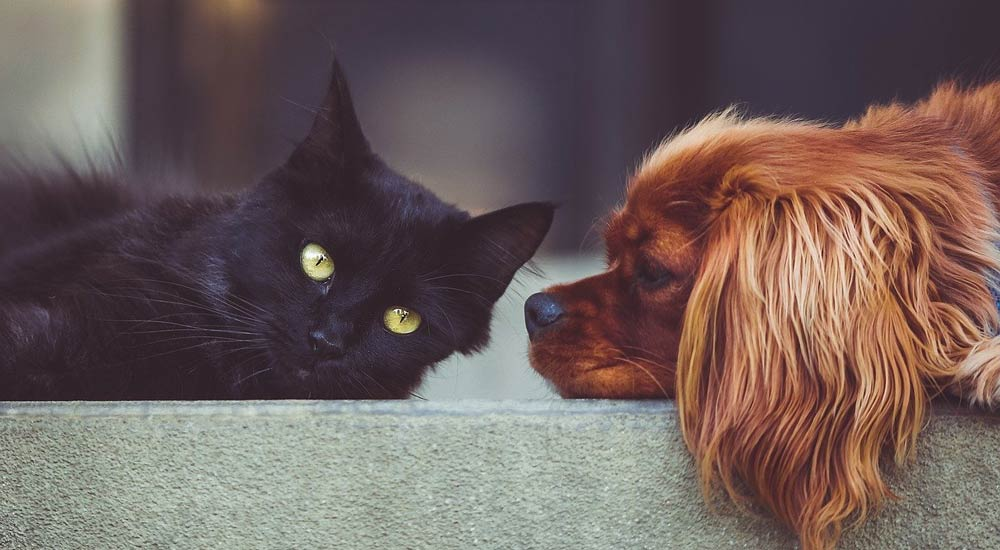 black cat and red dog