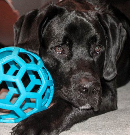 black lab and toy