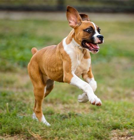 happy dog playing at NH dog daycare