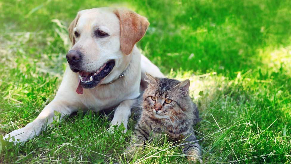 Labrador retriever and cat
